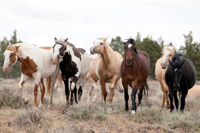 wild horse round up in nevada Wild horse advocates have scored a victory in nevada in an ongoing legal battle with rural interests who they say want to round up federally protected mustangs across.